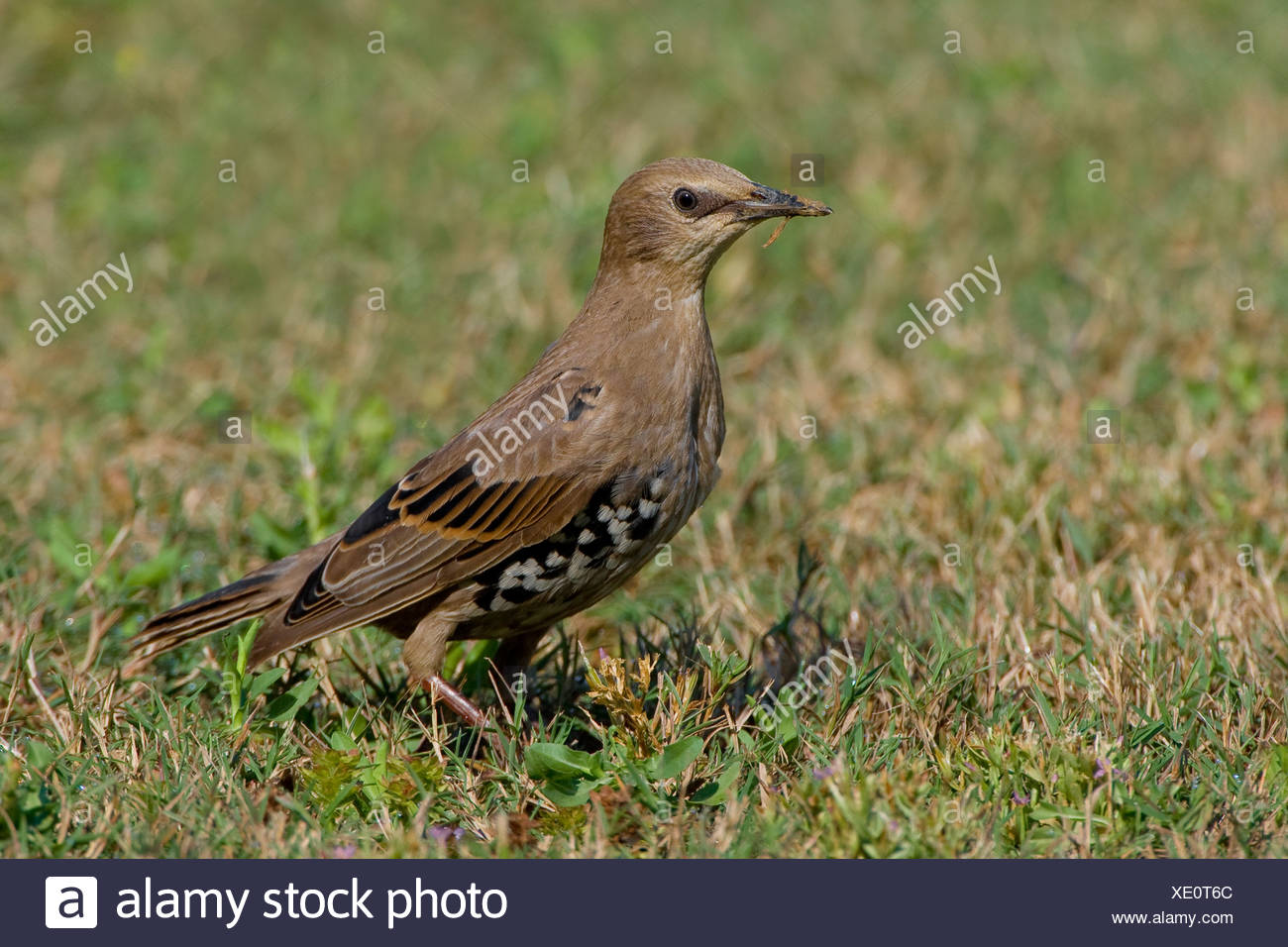 Een spreeuw in een grasveldje. A Common Starling in a patch of grass. - Stock Image