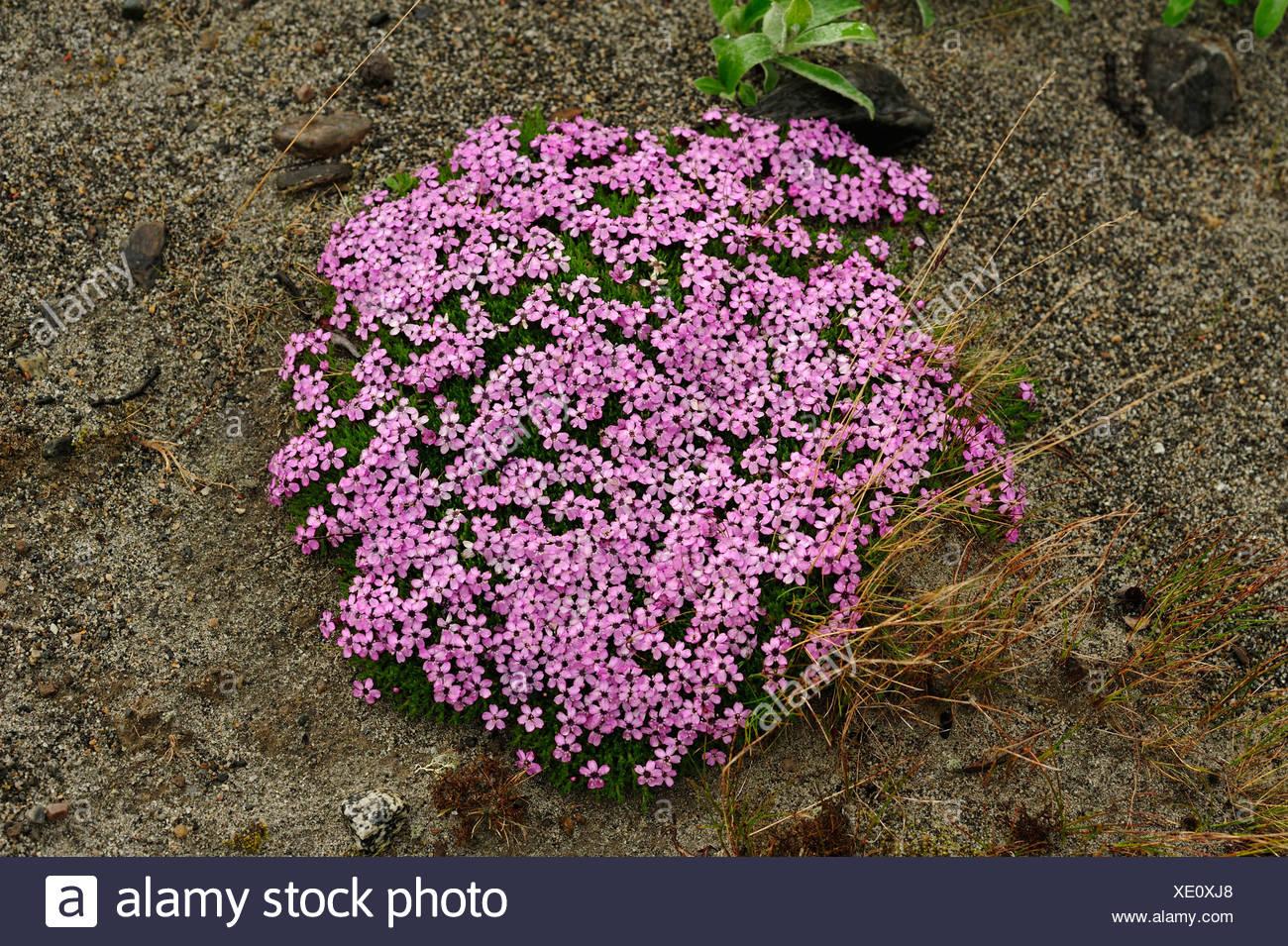 Cushion Pink Silene Acaulis Caryophyllaceae Cushion Flower
