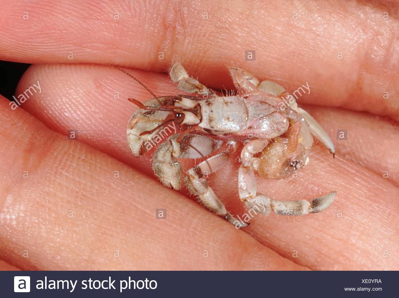 Hermit crab without shell - photo#55