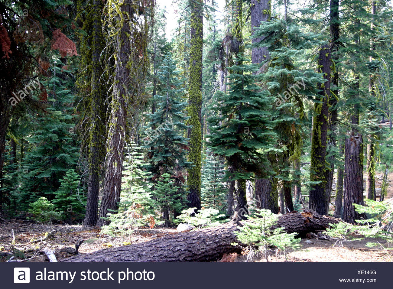 edge of the forest with Californian Red Fir, Jeffreys Pine and Silver Fir (Abies magnifica, Pinus jeffreyi, Abies alba), USA, C - Stock Image