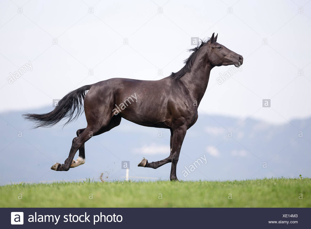 Oldenburg Horse. Black mare galloping on a pasture. Sequence. Switzerland - Stock Image