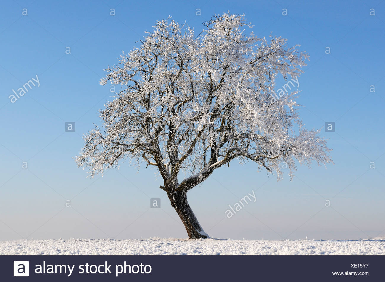 Old, frost-covered fruit tree - Stock Image