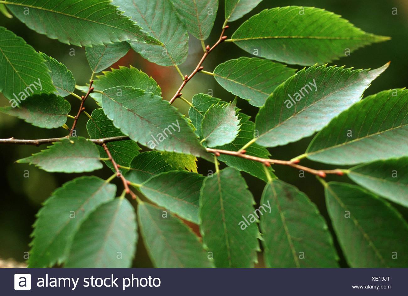 Japanese zelkova (Zelkova serrata, Zelkova acuminata, Zelkova hirta, Zelkova keaki ), branch - Stock Image