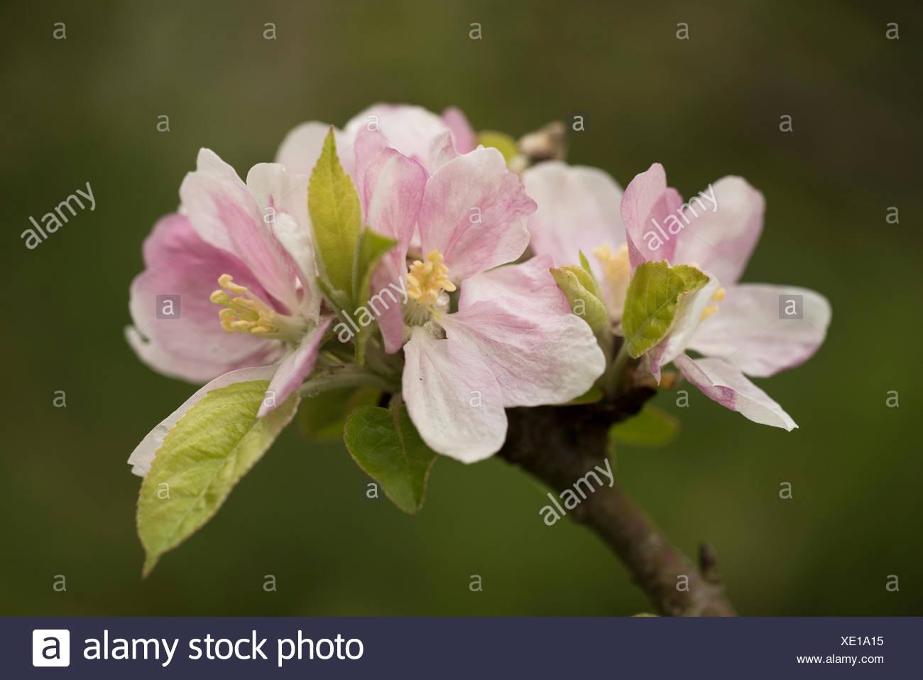 Cherry Tree Blossom Prunus serrulata UK - Stock Image