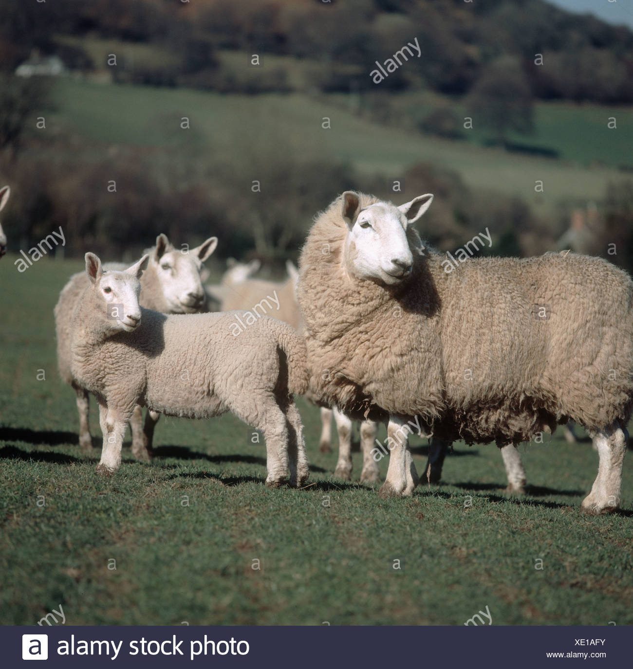 North Country Cheviot ewes and lambs turning their heads - Stock Image
