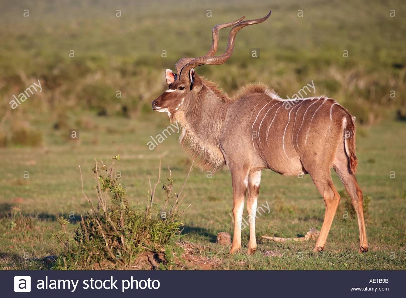 Kudu Antelope Male - Stock Image
