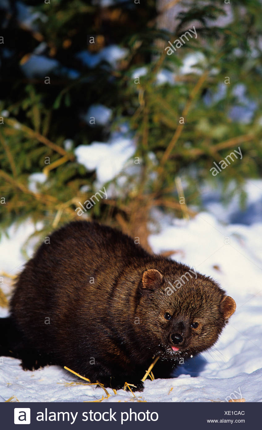 Fisher (Martes pennanti), canada - Stock Image