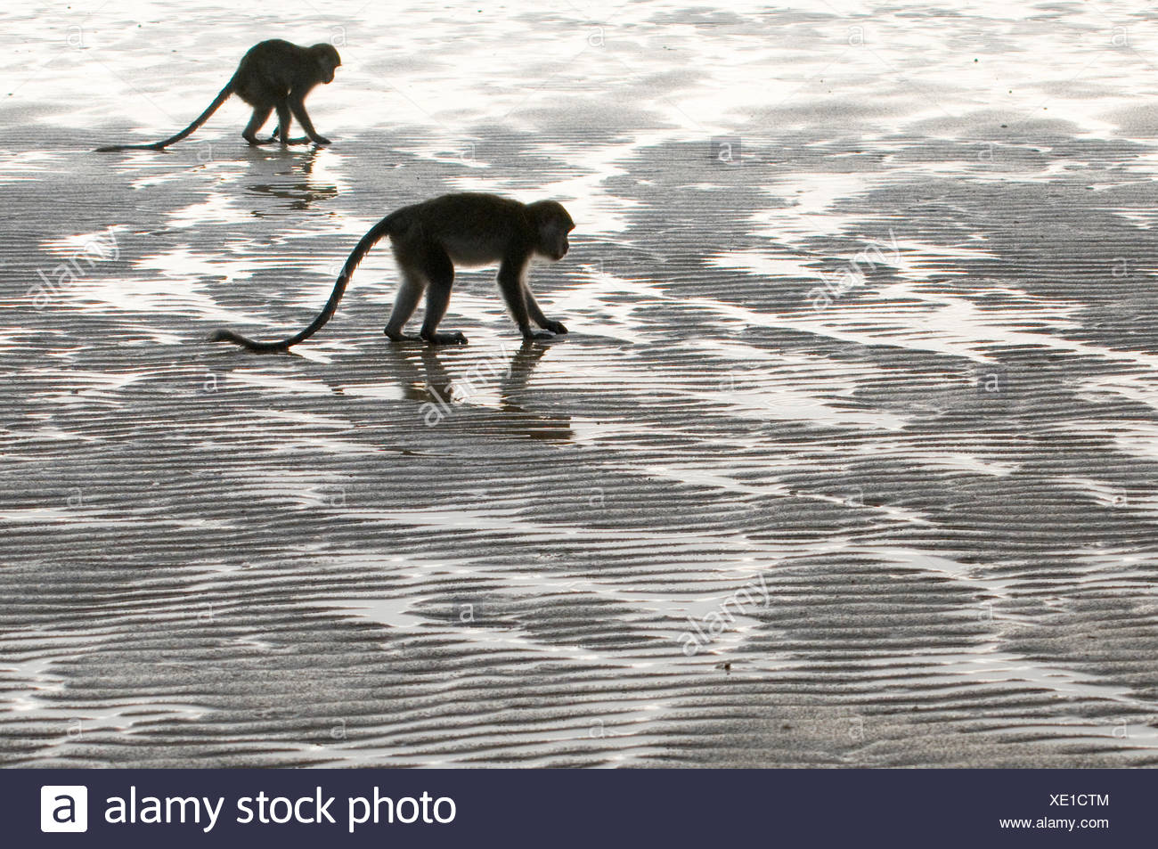 Two Long-tailed / Crab-eating macaques (Macaca fascicularis) foraging on coastline at low tide, Bako National Park, Sarawak, Borneo, Malaysia - Stock Image