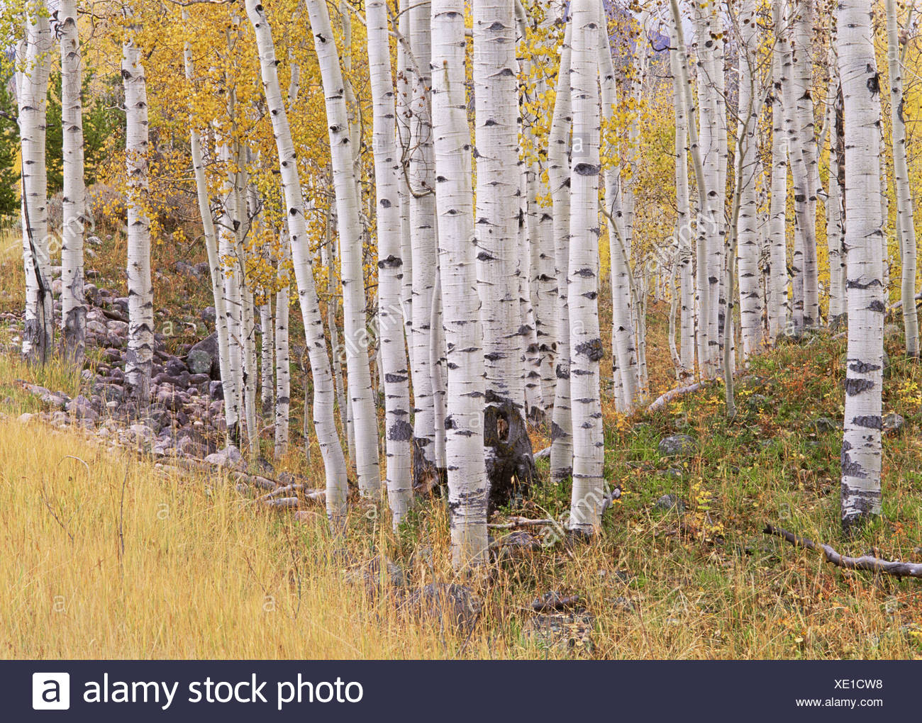 Aspen trees in autumn with white bark and yellow leaves. Yellow grasses of the understorey. Wasatch National forest in Utah. - Stock Image