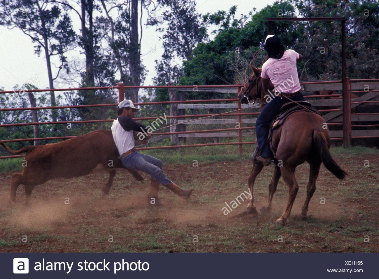 88f7e6fd Paniolos (Hawaiian cowboys) in action, Parker Ranch, Waimea (Kamuela) -