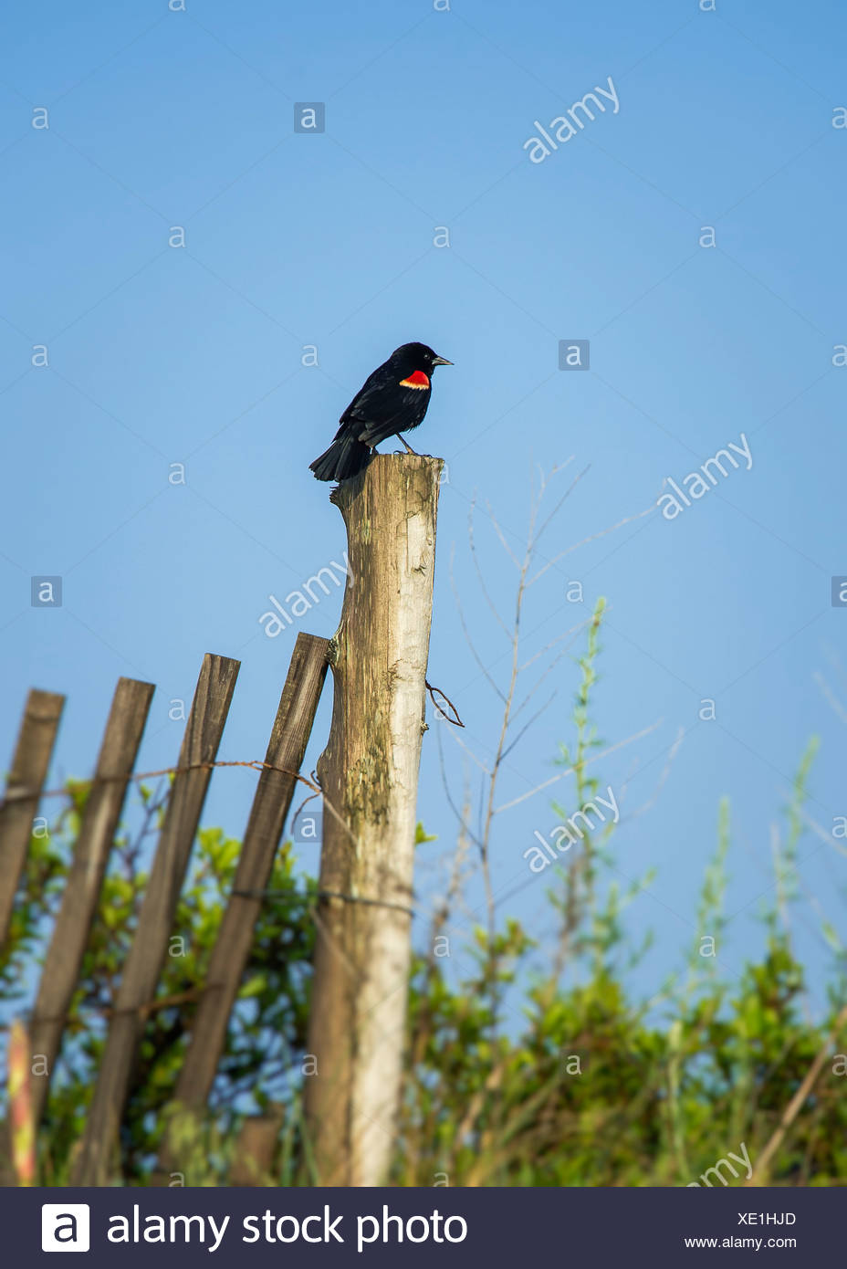 Red-winged blackbird, Agelaius phoeniceus - Stock Image