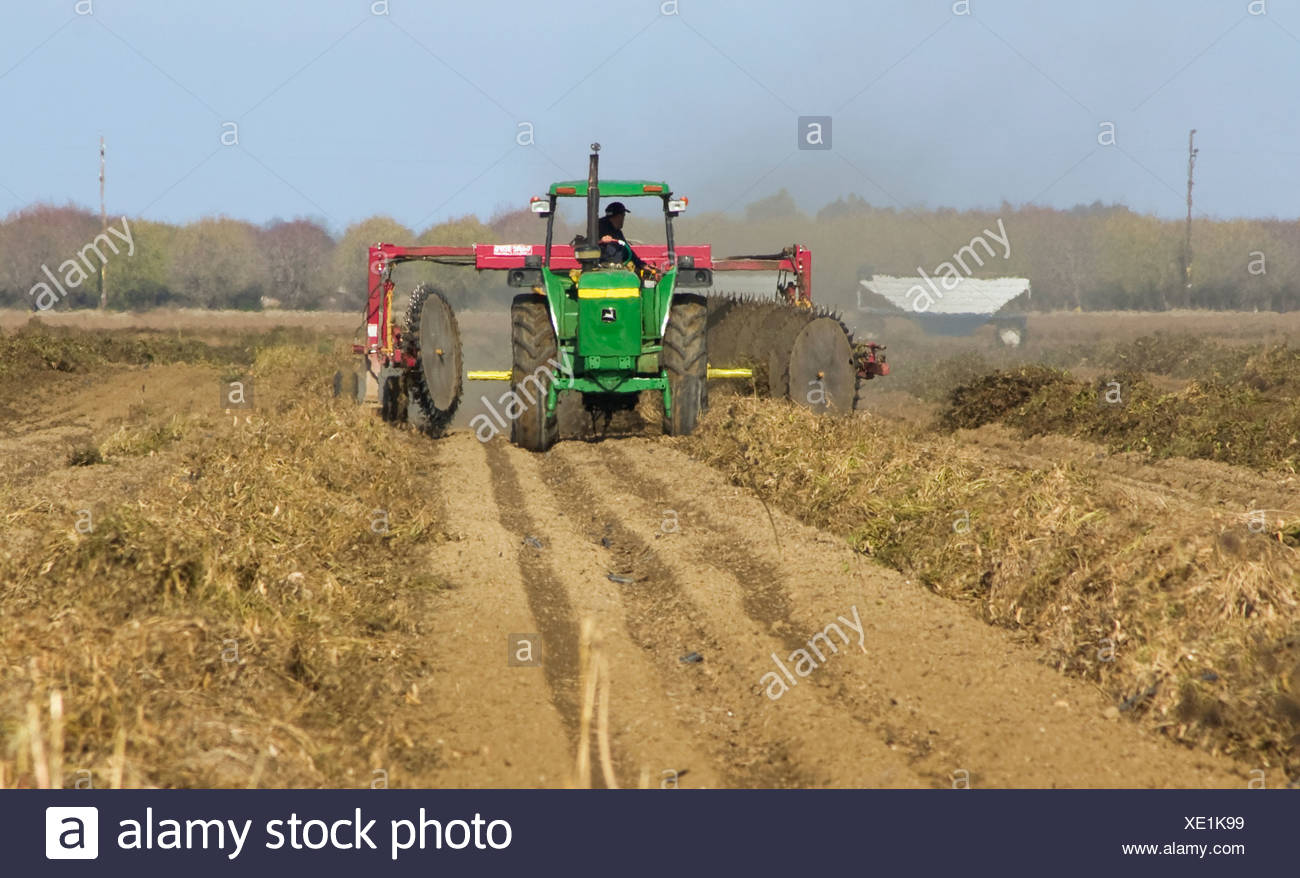 A tractor with a windrower turns rows of cut dry beans to facilitate even drying prior to harvest / Arbuckle, California, USA. - Stock Image