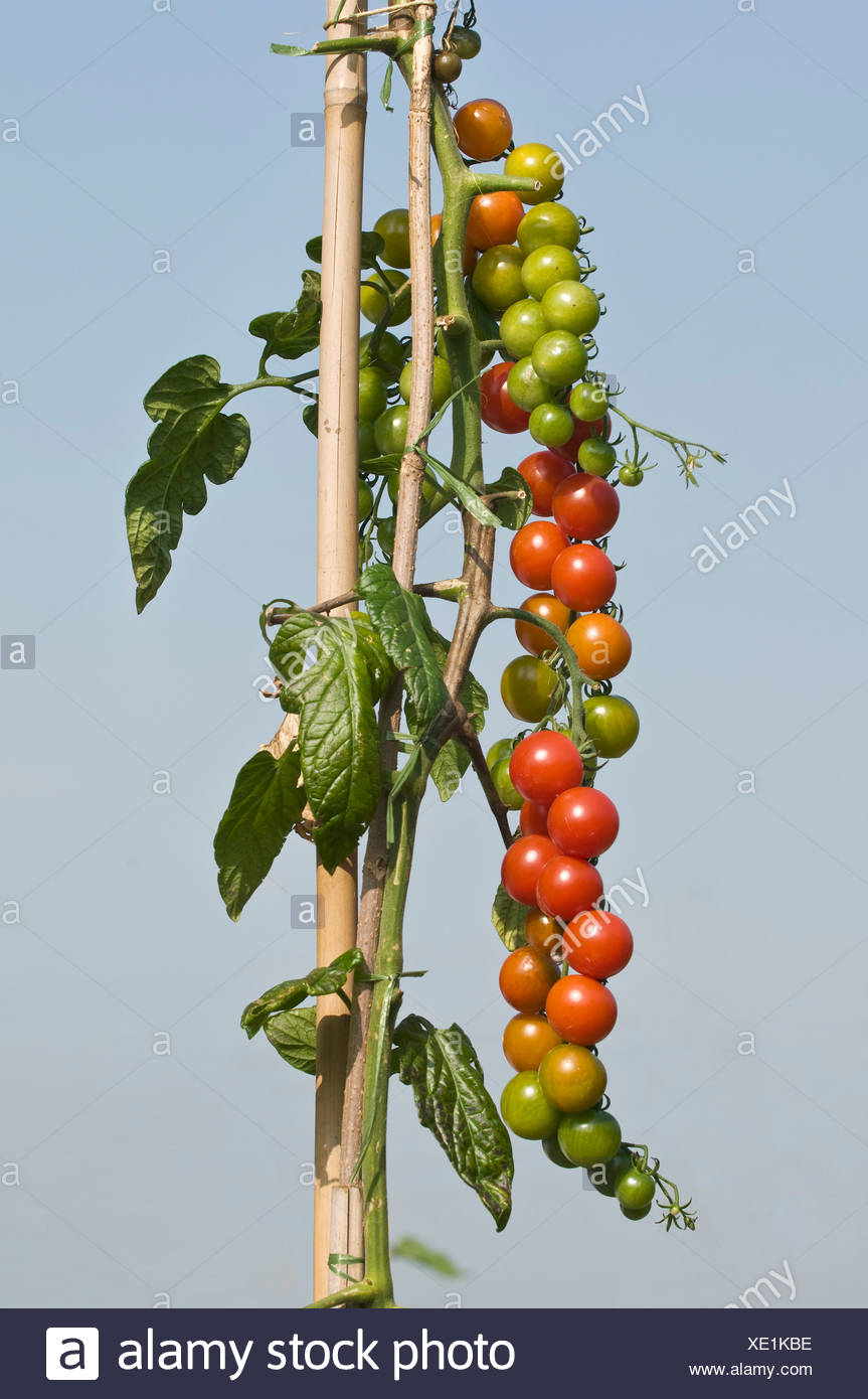 Tied up tomato vine with many tomatoes, own garden, self-supply - Stock Image