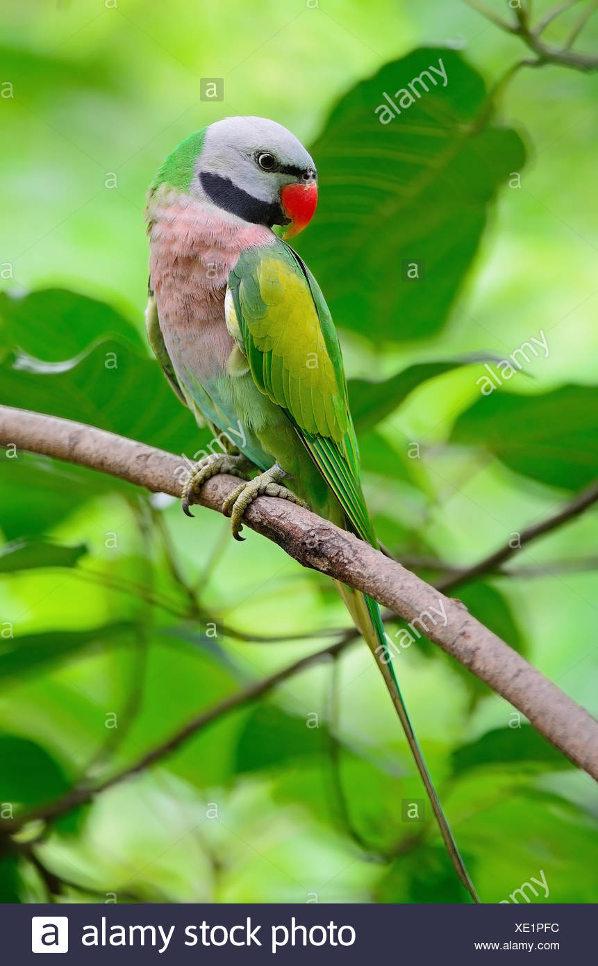 male Red-breasted Parakeet Stock Photo: 284010704 - Alamy