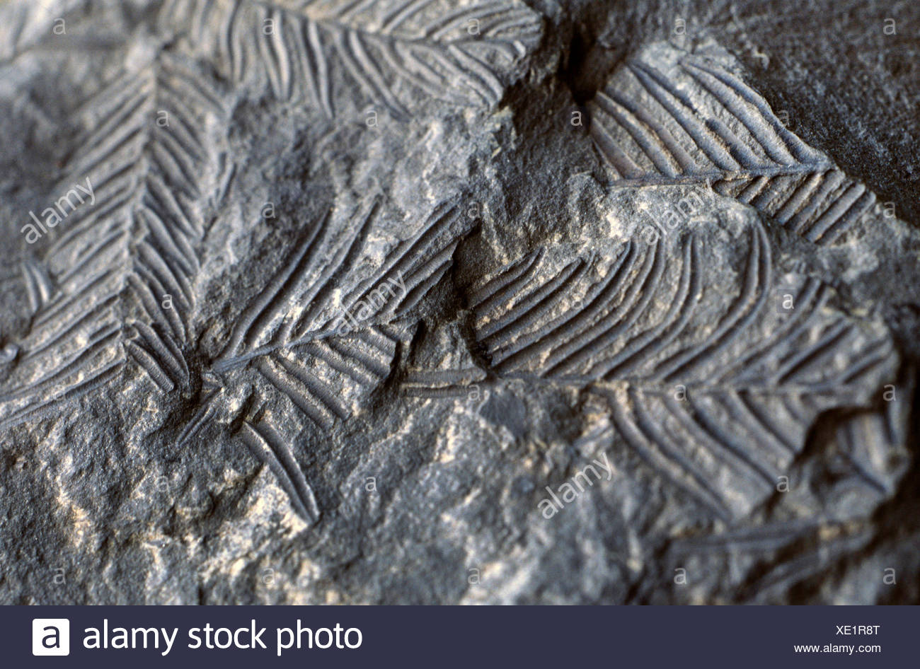 Alethopteris, fossile seed fern in shale from Carboniferous - Stock Image