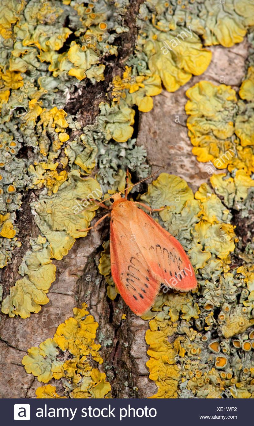 Rosy Footman Moth Miltochrista miniata on lichen covered tree trunk. Stock Photo