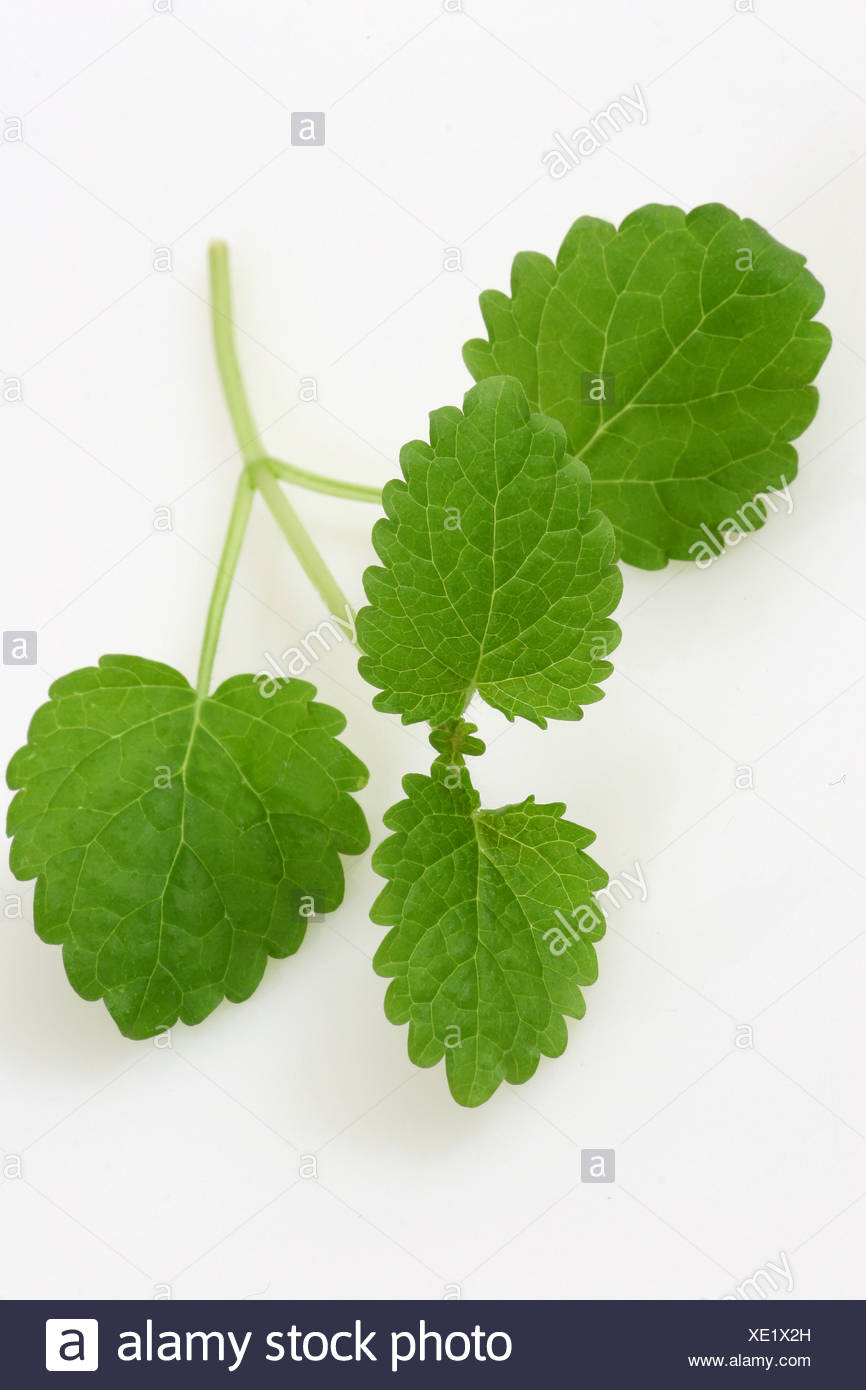 A cut out of a spring of lemon balm Stock Photo