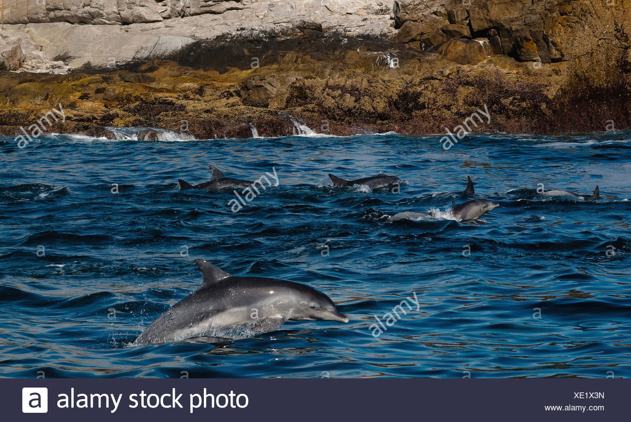 Breaching Common Bottlenose Dolphins (Tursiops truncatus), Saint Croix Port Elizabeth - Stock Image