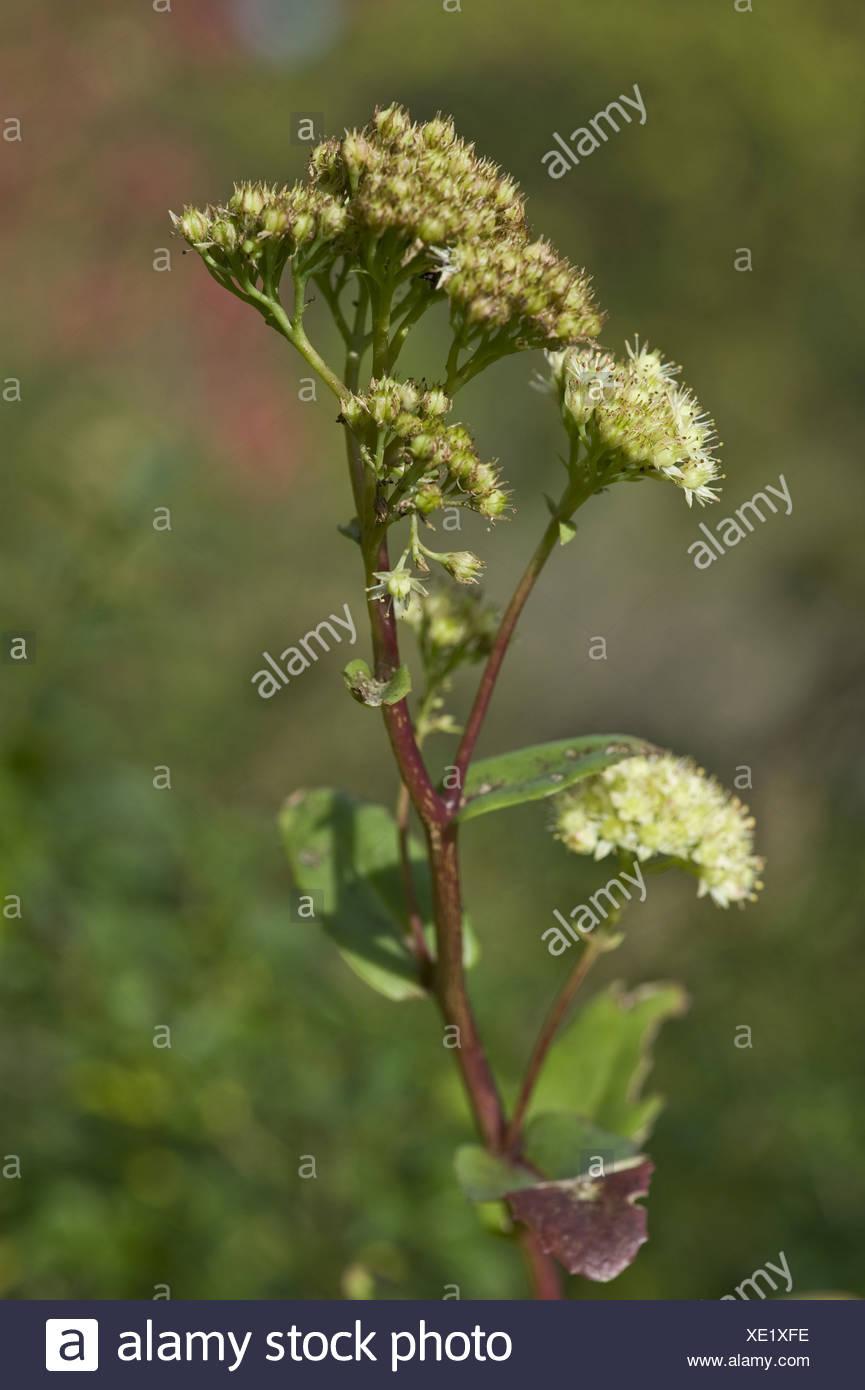 orpine, sedum maximum - Stock Image