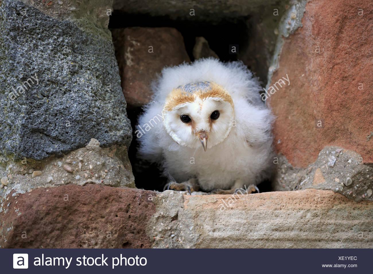 Barn Owl, young, Pelm, Kasselburg, Eifel, Germany, Europe / (Tyto alba) - Stock Image