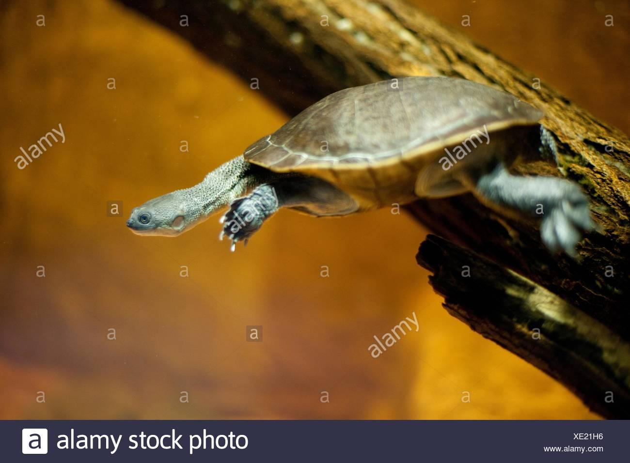 snake-necked turtle - Stock Image