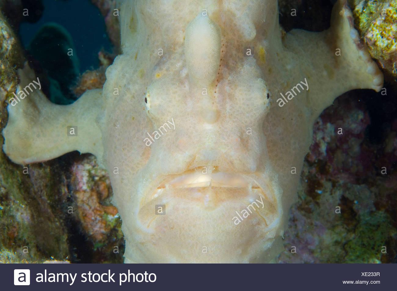Anglerfish Light Stock Photos & Anglerfish Light Stock Images - Alamy