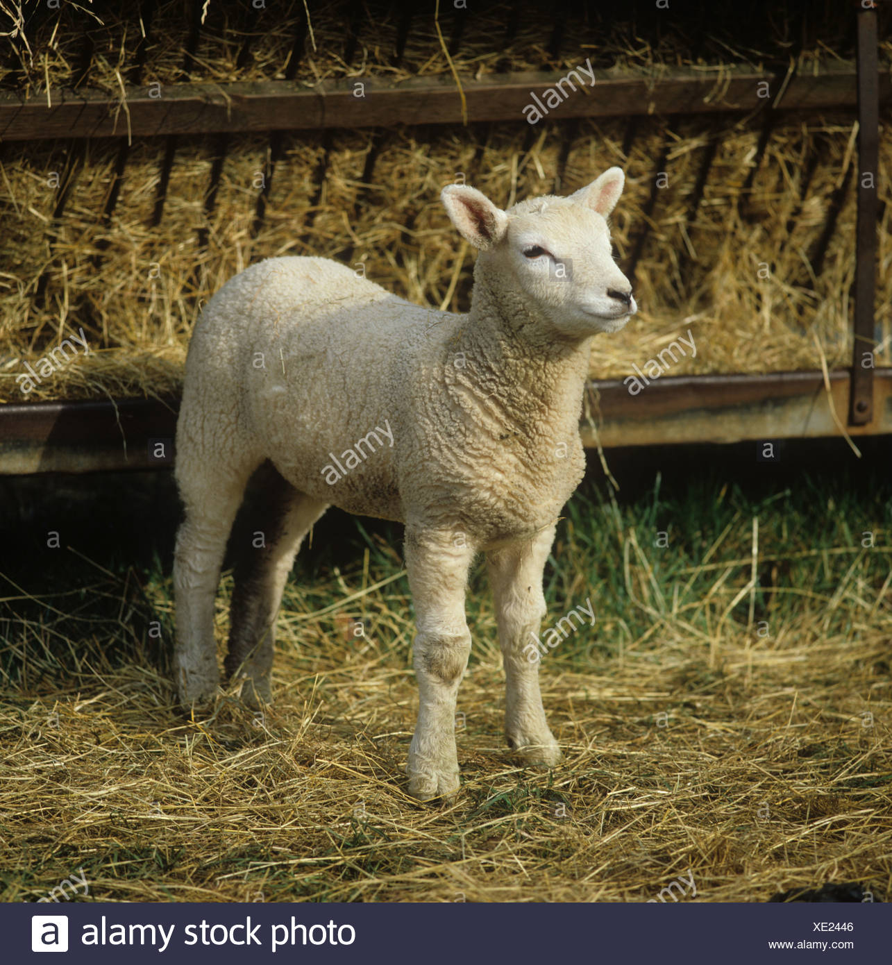 A Charollais X lamb standing by hay feeder - Stock Image