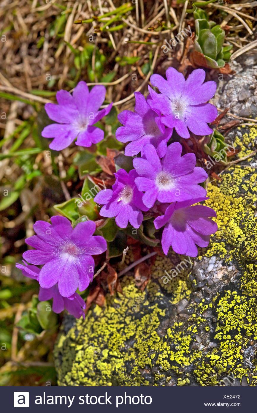 Entire-leaved primrose (Primula integrifolia), blooming, Switzerland - Stock Image