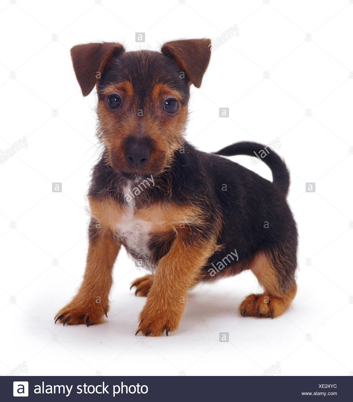 Rough Coated Jack Russell Terrier Puppy Black And Tan Portrait Stock Photo Alamy
