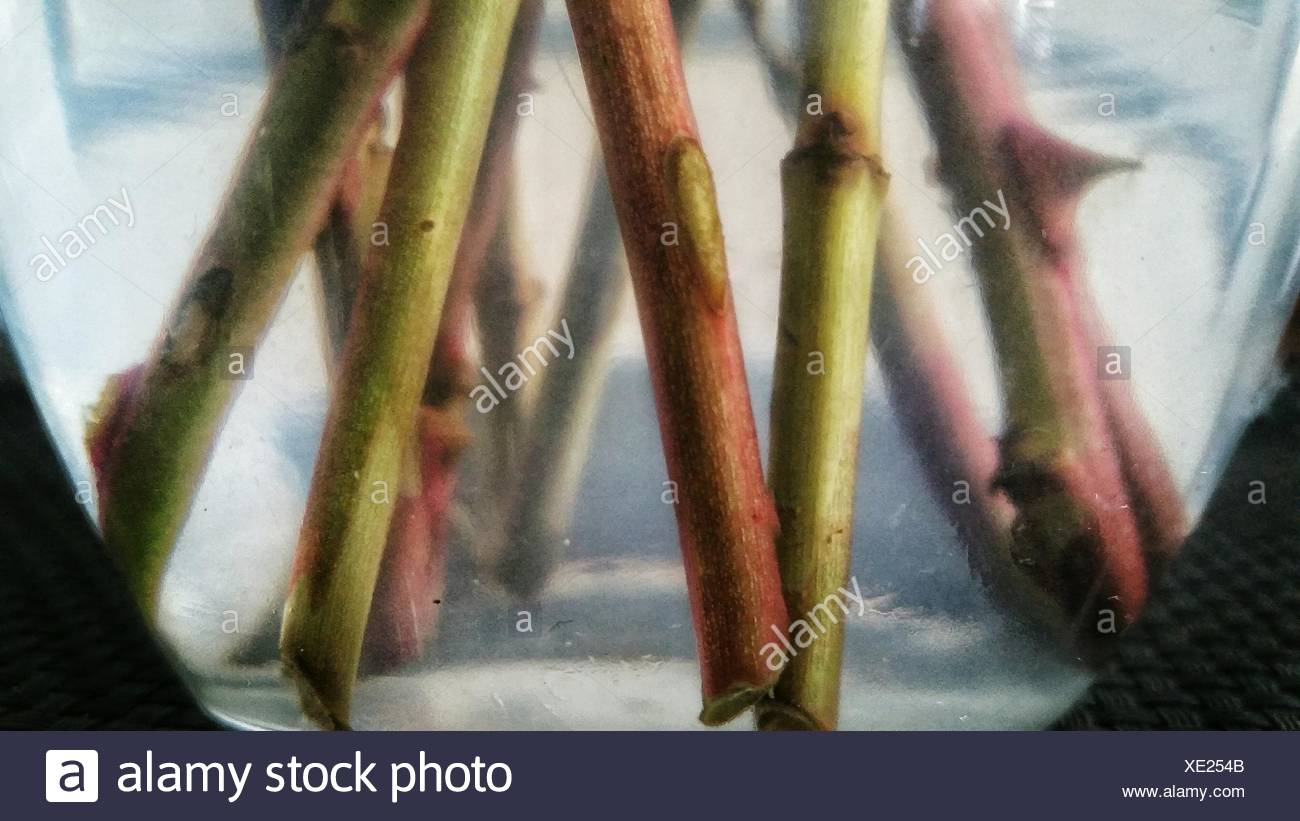 Flower Stems In Vase - Stock Image