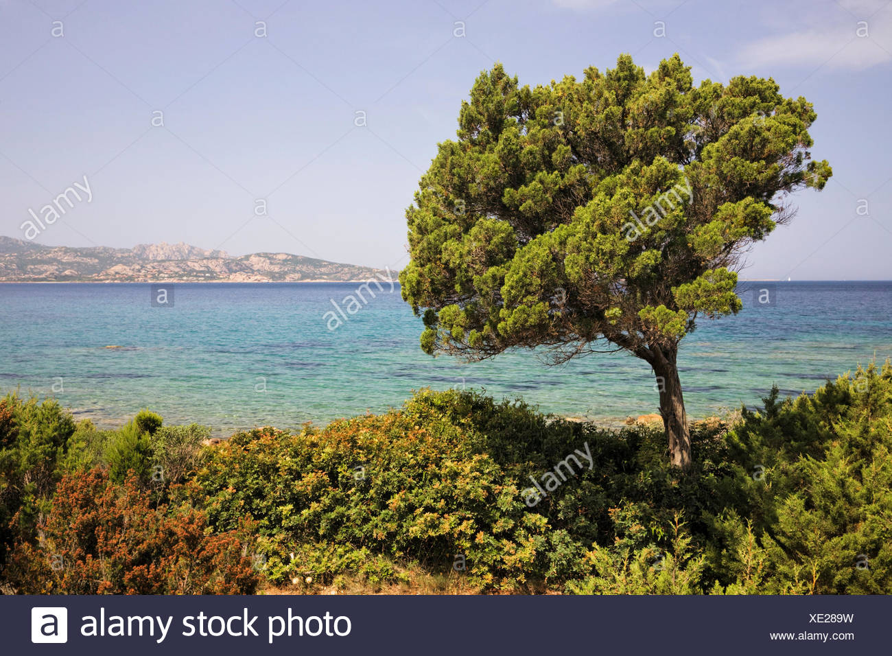 Tree on the northeast coast of Sardinia, Italy, Europe - Stock Image