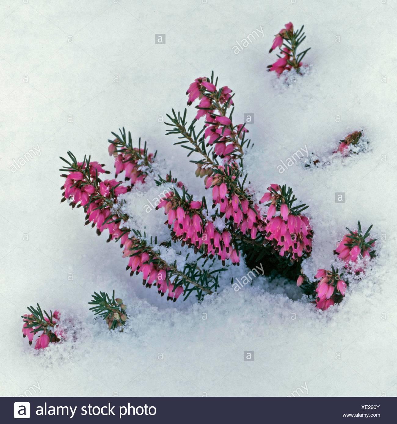 Erica carnea - `Myretoun Ruby' AGM in Snow   ERC012043 - Stock Image