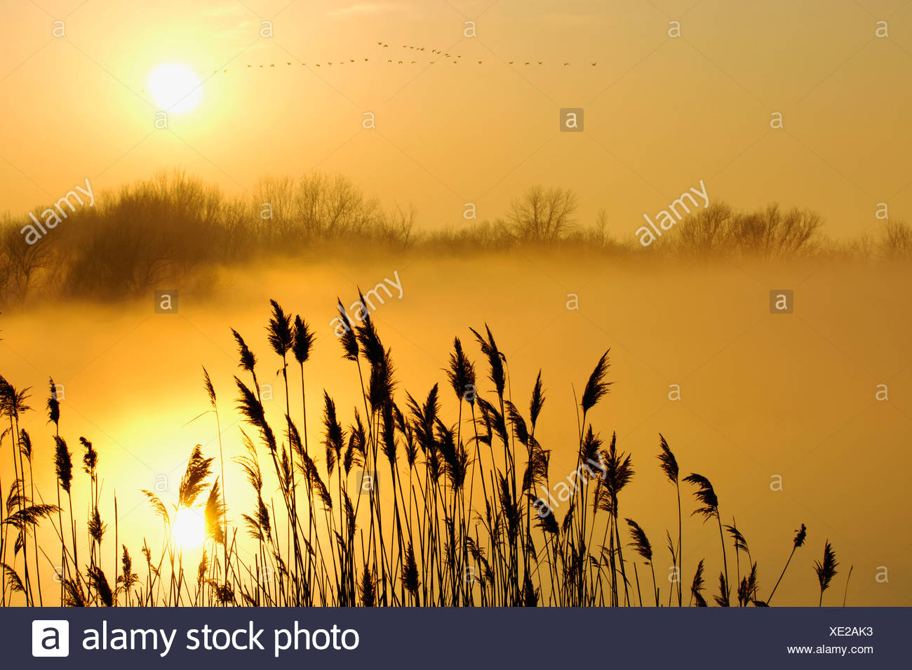 Canada Geese In Flight At Sunrise; Pointe-Des-Cascades Quebec Canada - Stock Image