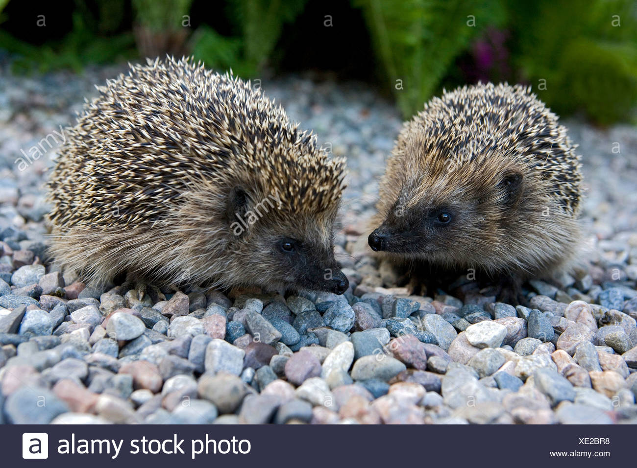 Close-up side view of two hedgehogs on stones - Stock Image