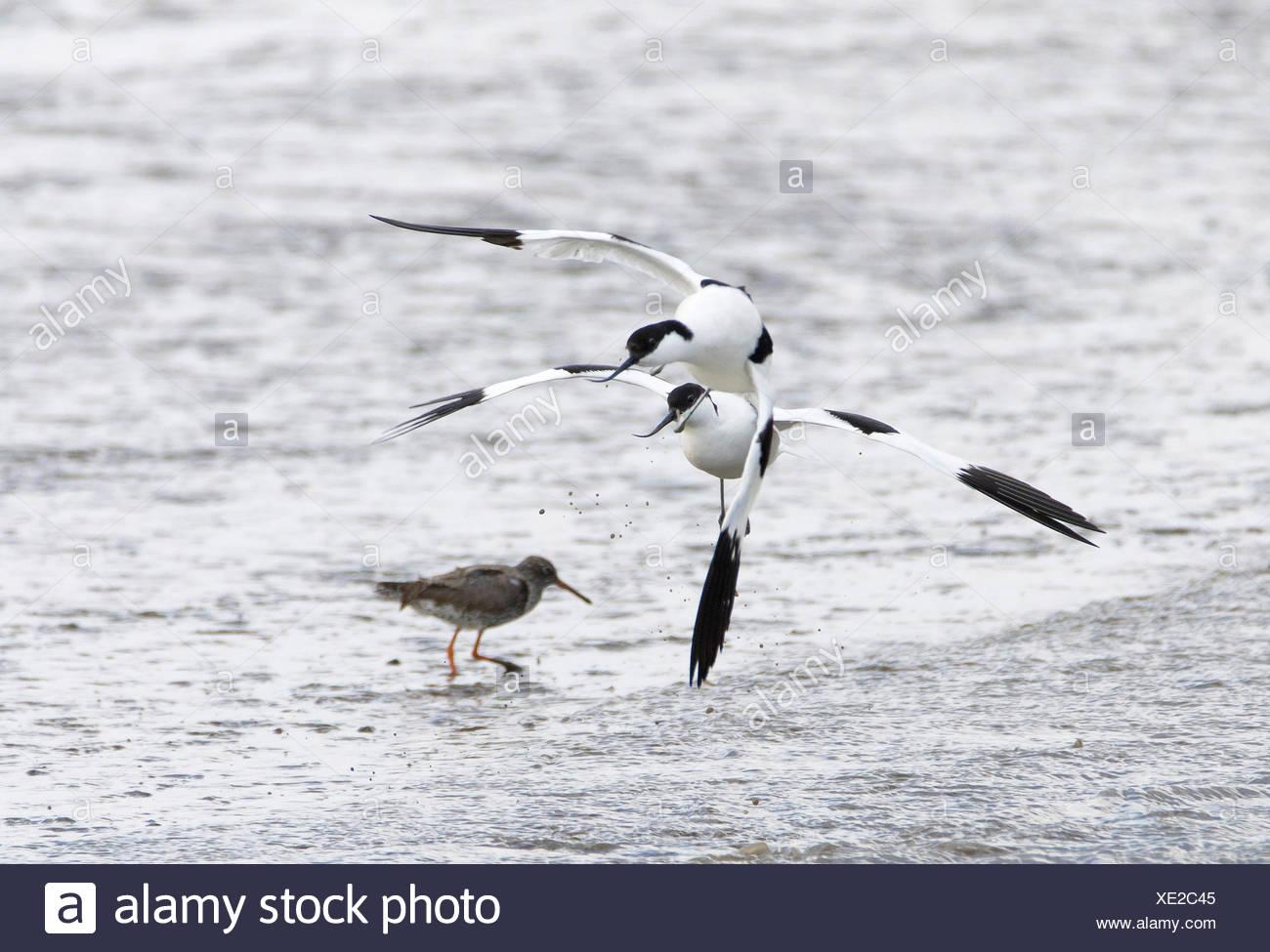 Saebelschnaebler (Recurvirostra avosetta), im Kampf, Deutschland, Schleswig-Holstein, Nordfriesland, Hallig Hooge | pied avocet  - Stock Image