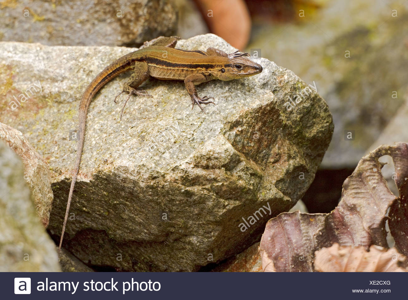 A lizard perched on a rock in the Milpe reserve in northwest Ecuador. - Stock Image