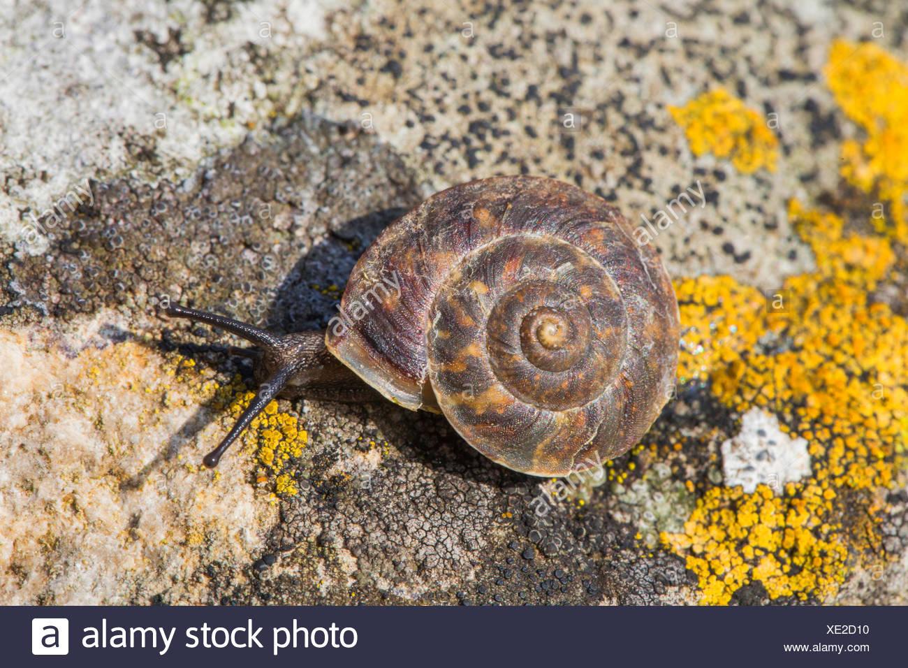 Lapidary snail (Helicigona lapicida, Chilotrema lapicida, Latomus lapicida), creeps on a rock, Germany, Bavaria, Niederbayern, Lower Bavaria Stock Photo