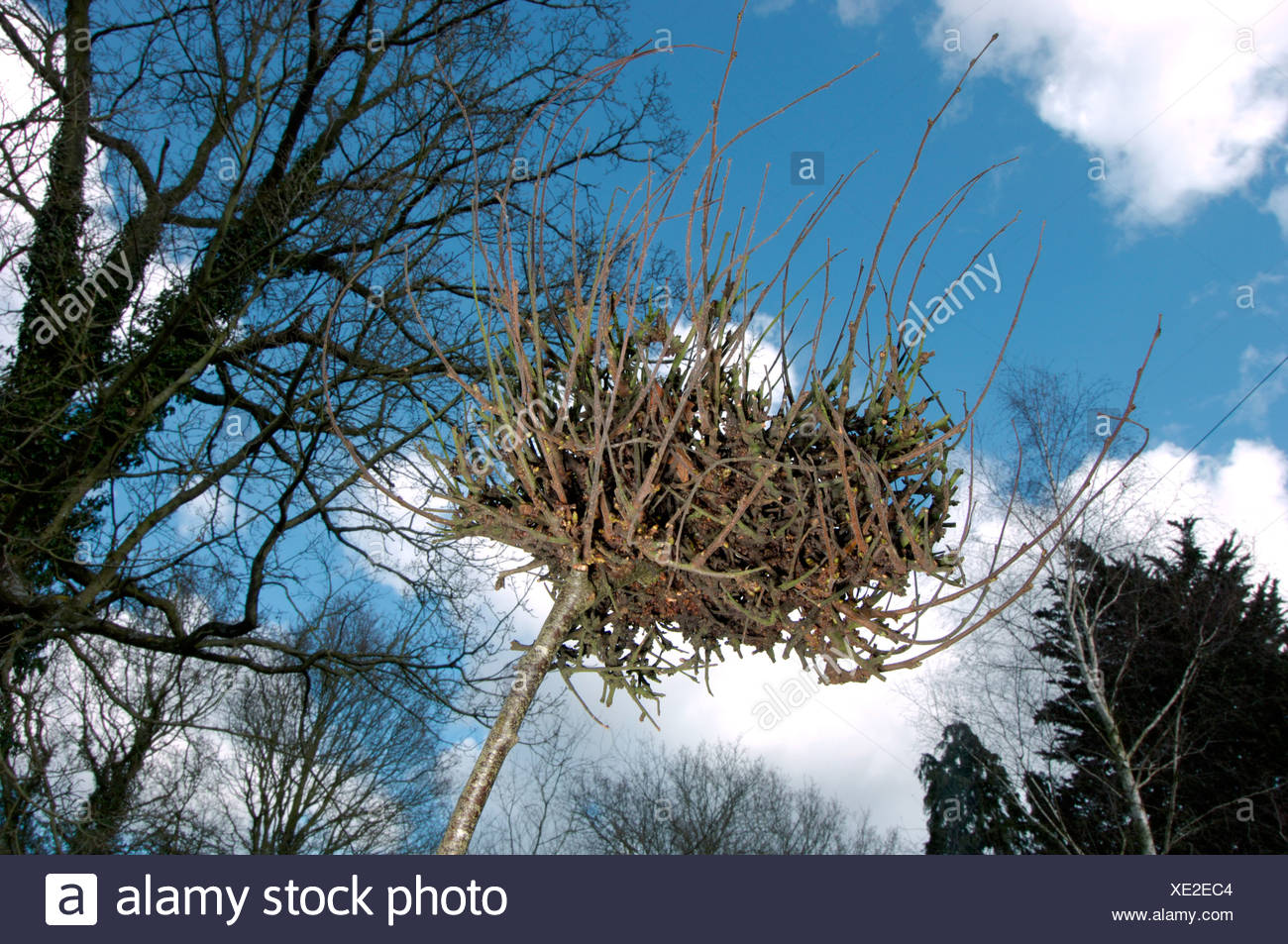 Witches' Broom gall on Silver Birch, caused by the fungus Taphrina betulina - Stock Image