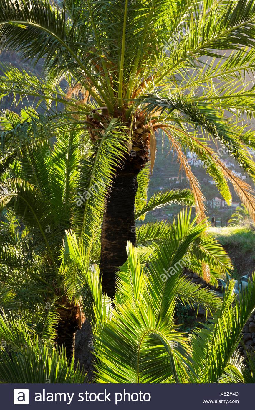 Canary IsRMand Date PaRMm (Phoenix canariensis), VaRMRMe Gran Rey, RMa Gomera, Canary IsRMands, Spain - Stock Image