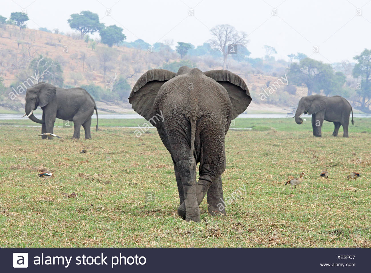 Elephant from behind Stock Photo