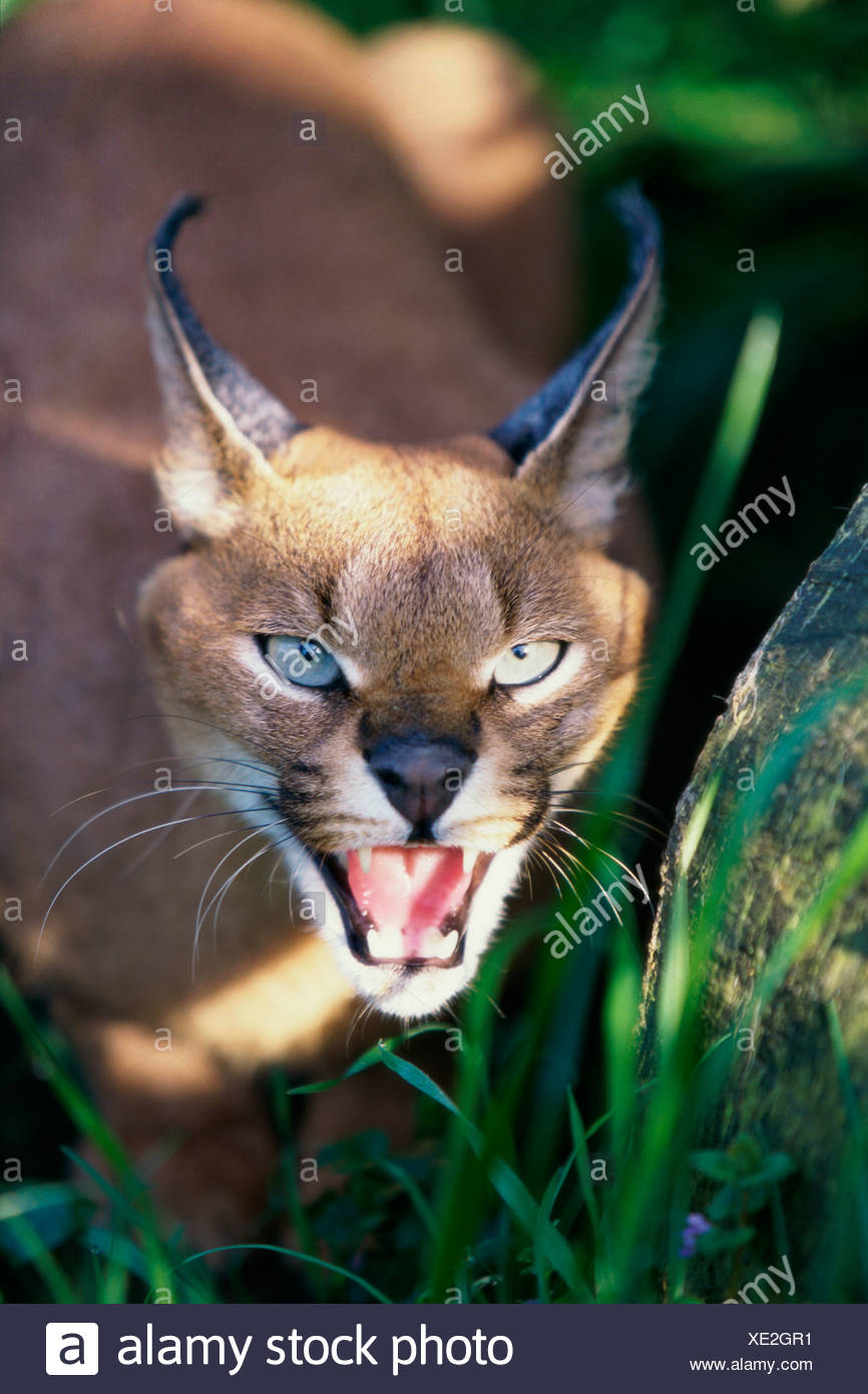 Close-up of a Desert Lynx (Caracal caracal) snarling - Stock Image