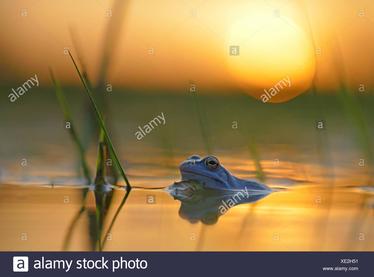Moor frog (Rana arvalis), blue coloured male during mating season, in spawning waters, sunset, Elbe, Saxony-Anhalt, Germany - Stock Image