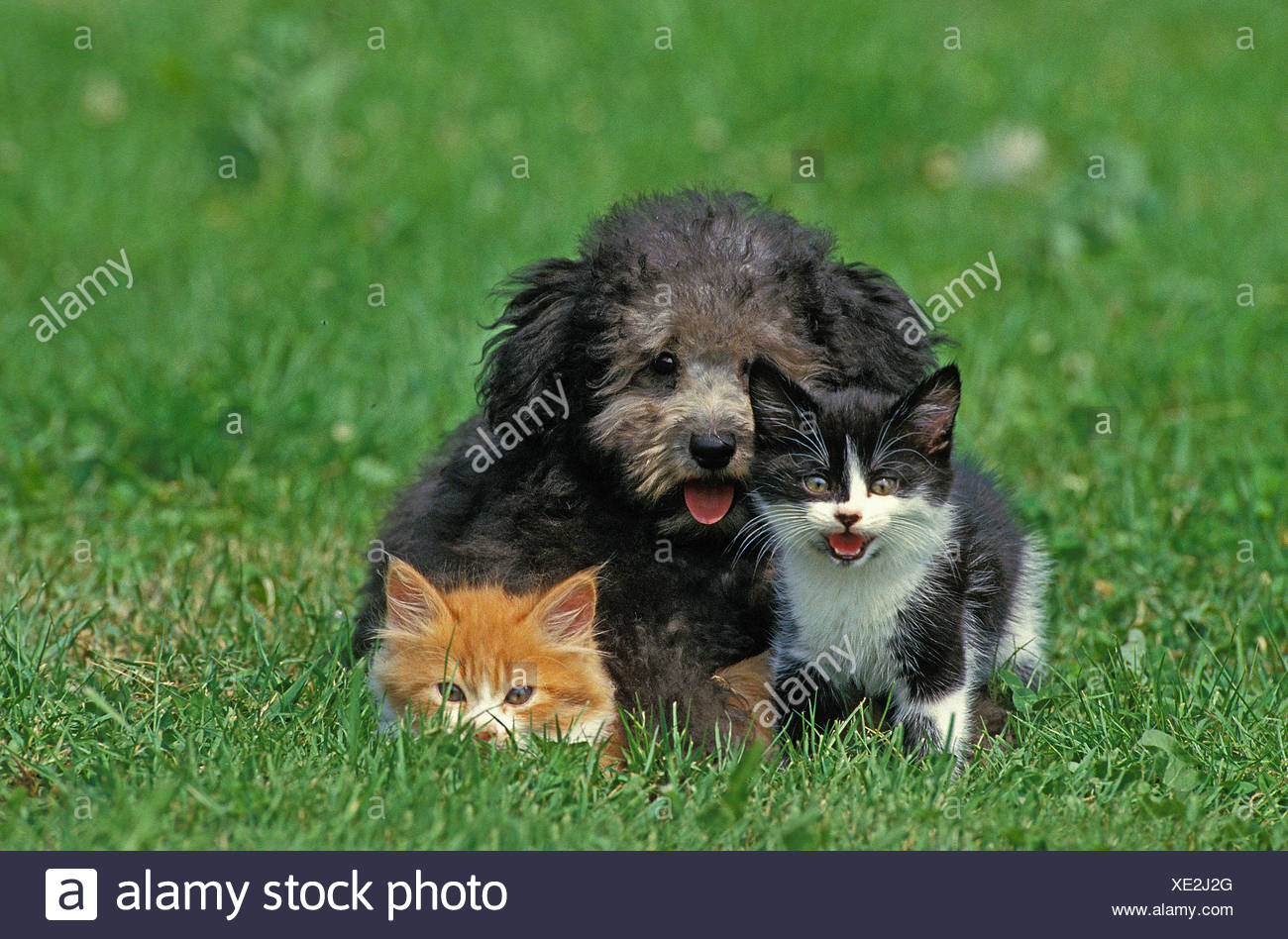 Grey Miniature Poodle Pup with Kittens on Grass - Stock Image