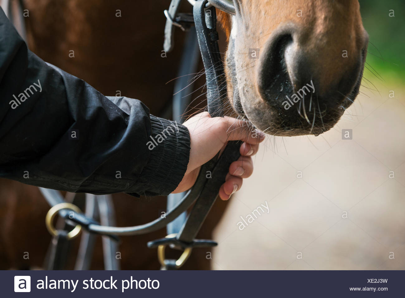 Close up of a human hand holding a brown horse by the bridle. - Stock Image