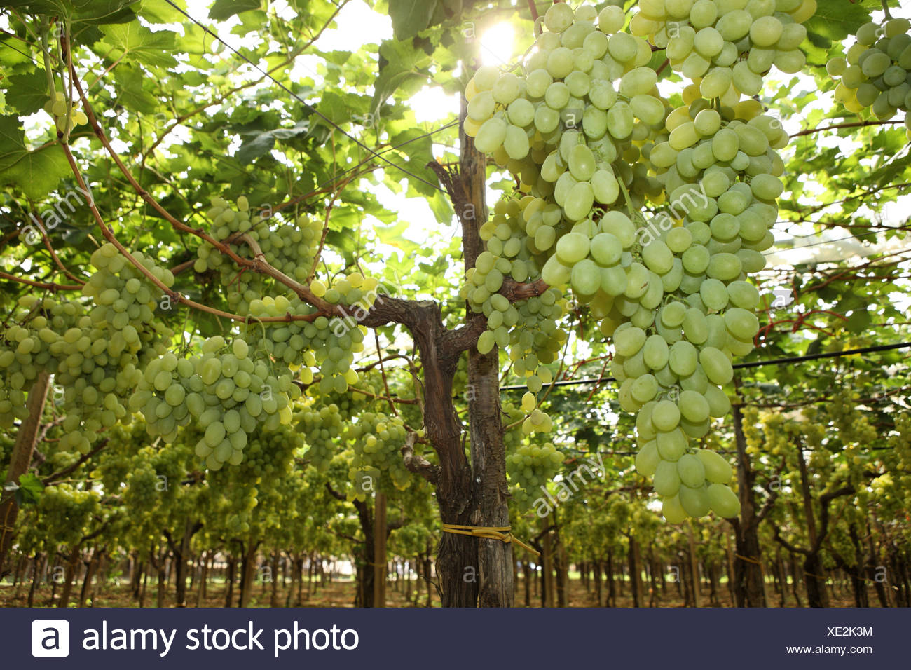 Italy Europe Province of Bari Apulia region Southern Italy Food Grapes Vineyard Vine Wine Harvest Farming - Stock Image
