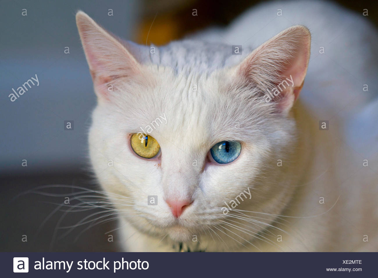 7c827004dd Odd Eyed Stock Photos   Odd Eyed Stock Images - Alamy
