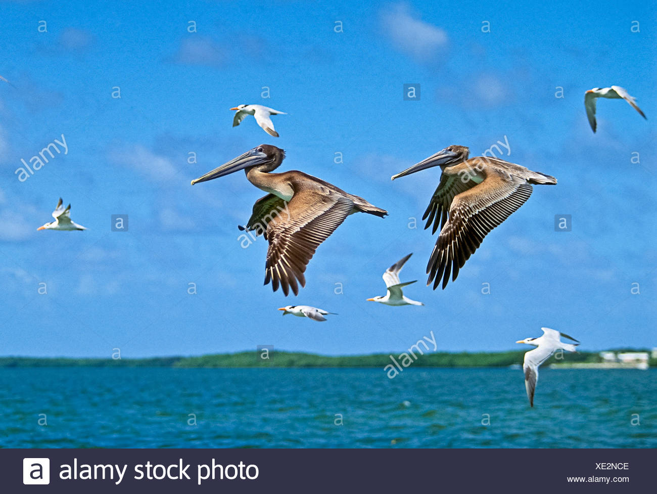 Juvenile Brown Pelicans flying, Pelecanus occidentalis, Key Largo, Florida, USA - Stock Image