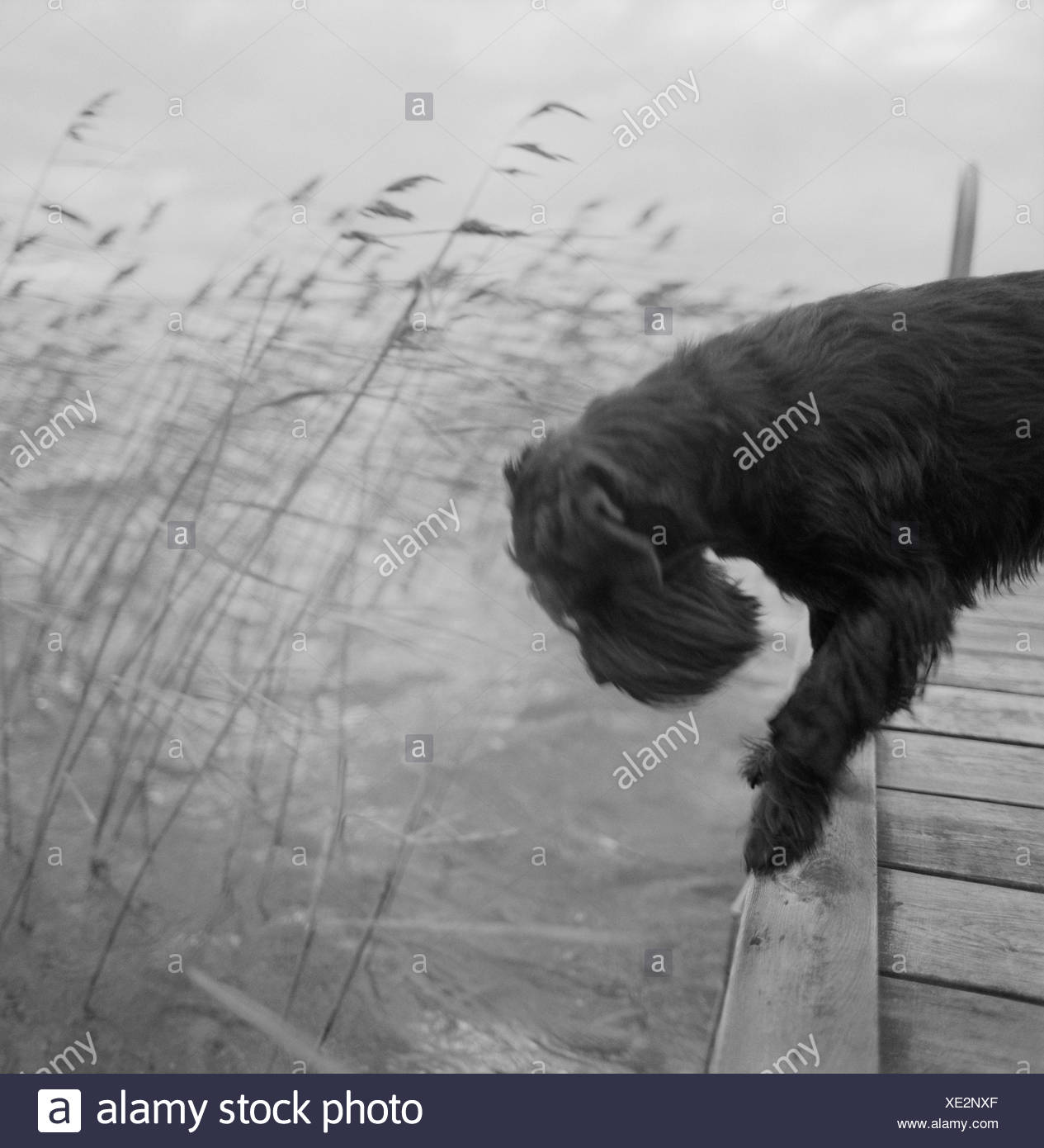 Dog peering into water from jetty Stock Photo
