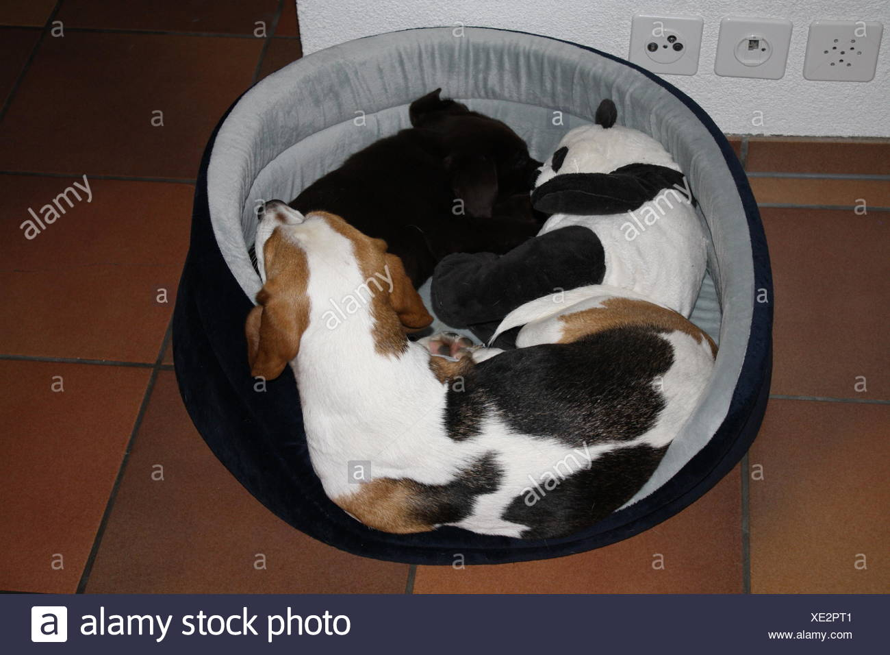 Two Dogs Sleeping In A Round Dog Bed Indoor - Stock Image