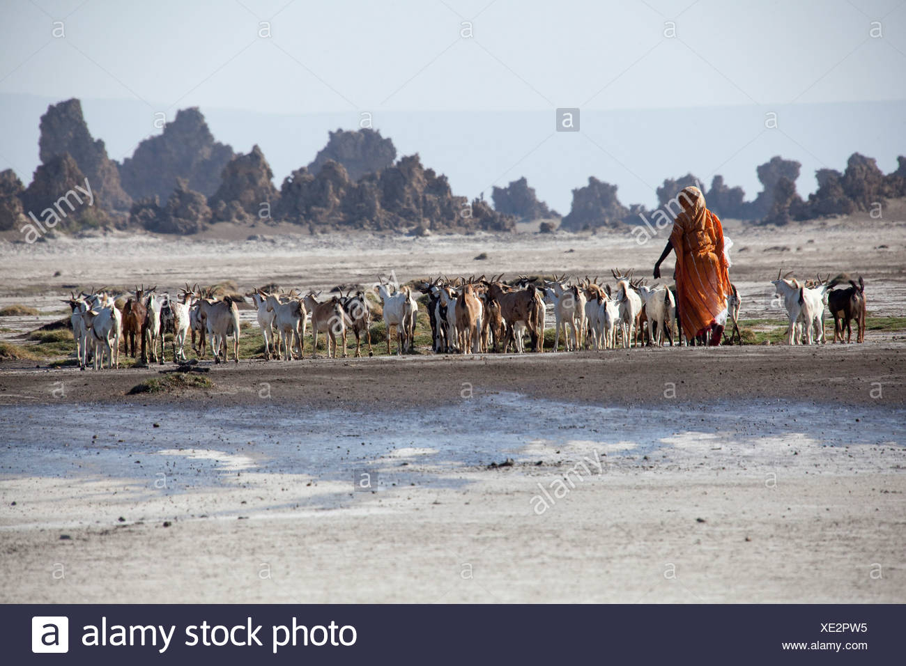 herd of goats, goats, nanny goats, Abbesee, Djibouti, Africa, scenery, landscape, nature, lake, lakes, agriculture, shepherd - Stock Image
